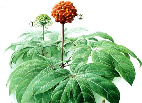 三七的植物学特性都有哪些