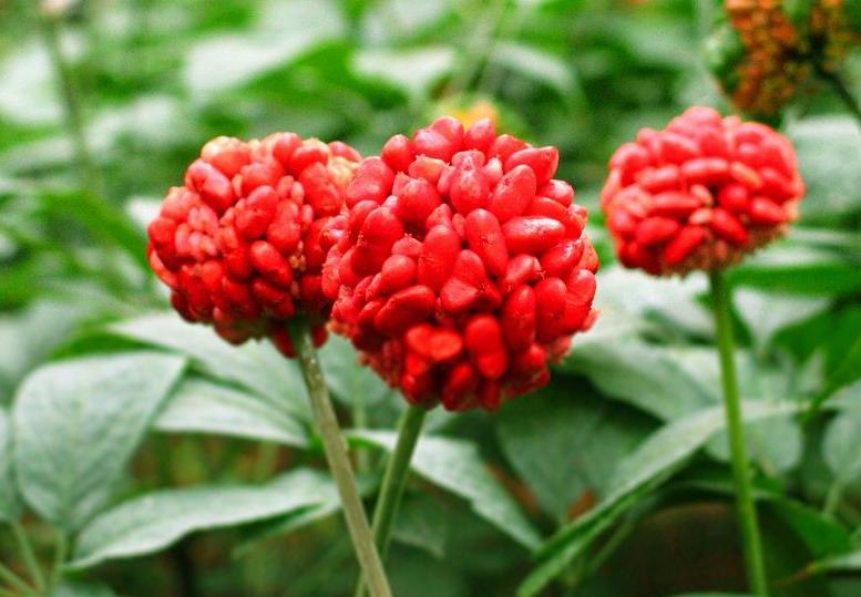 三七植株生长形态特征