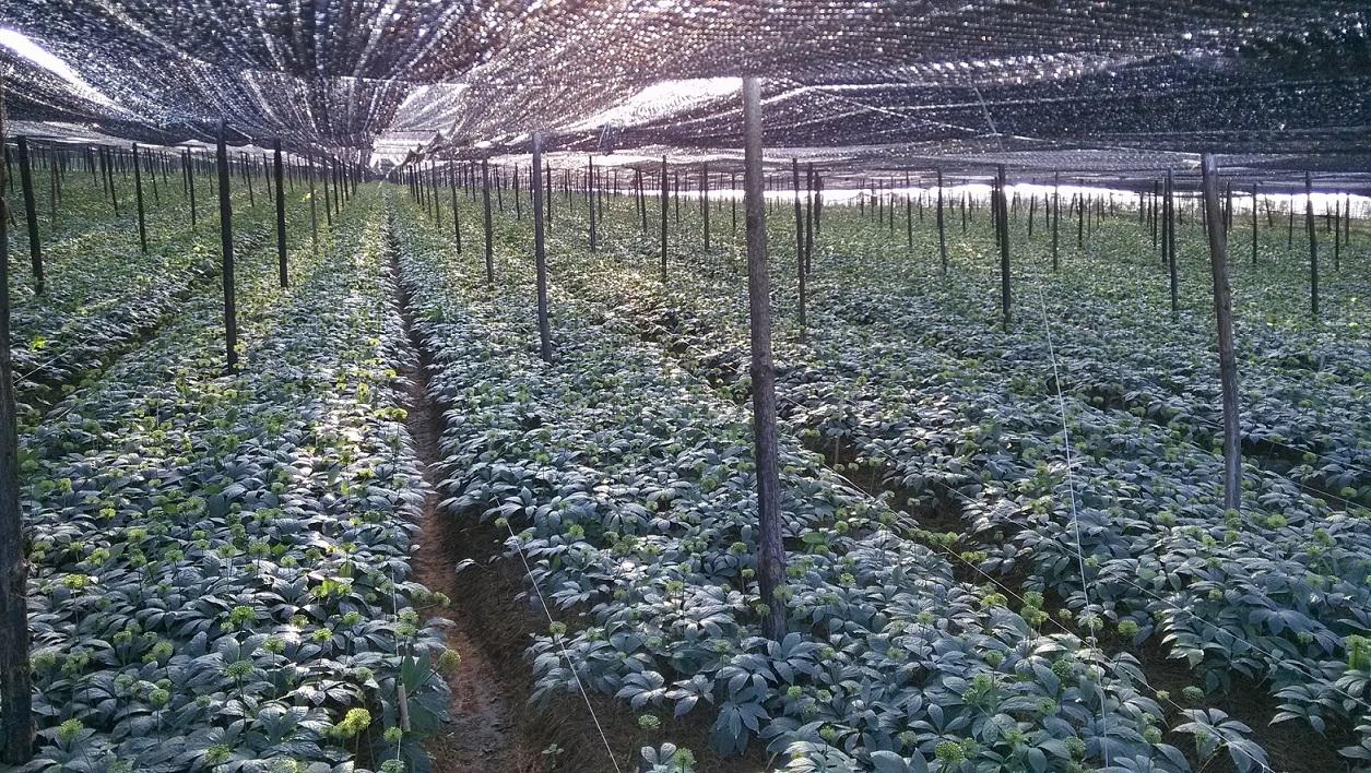 文山三七的生长习性和种植管理