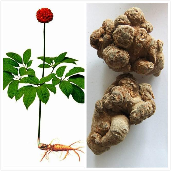 三七的茎叶总皂苷的研究