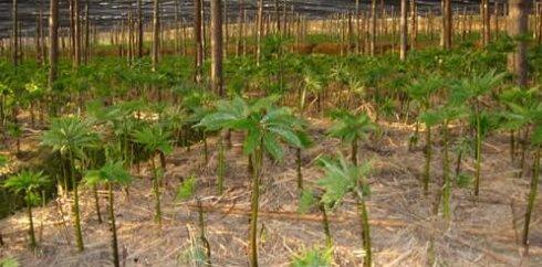 三七种苗出苗率还与土壤水分含量