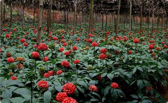 文山是三七花开、兰花飘香的地方