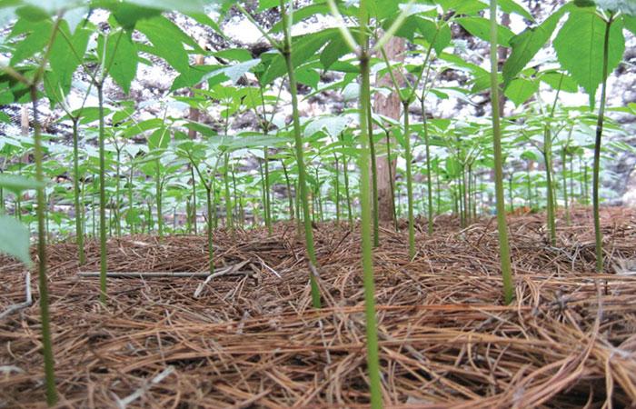 三七种子发芽的最佳温度为20℃