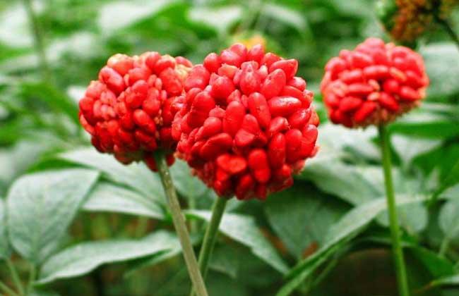 在哪里可以买到优质的三七红籽?