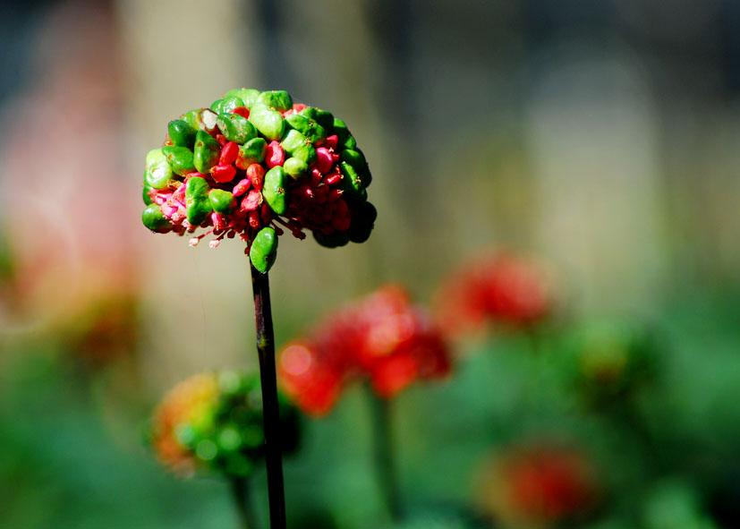 三七花可以和枸杞、菊花 ,三者