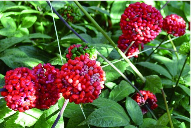 种植一亩地的三七需要多少种子?