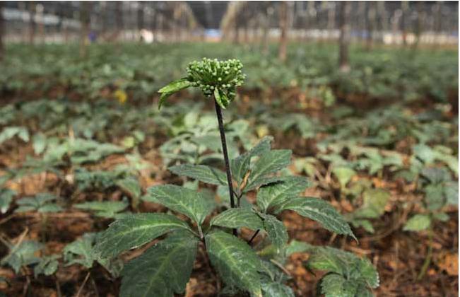 种植文山三七的条件因素有哪些?
